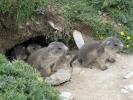 1603  Marmota marmota - marmotte des Alpes - juvéniles dans leur trou
