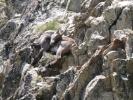1331 Capra ibex - bouquetin - en plein somme