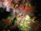Corallium rubrum - corail rouge.JPG