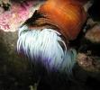 Anemonia viridis - Anémone de mer verte 01