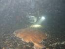 Torpedo marmorata - raie torpille marbrée 04