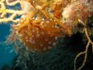 Janolus cristatus - antiopelle couronnée 04