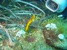 Syngnathus typhle rondeleti - Siphonostome de Méditerranée 06