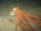 Octopus macropus - poulpe à longs bras 04
