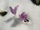 1030 - Colchicum multiflorum - colchiques dans la neige