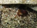 Sepiola atlantica - sépiole 02