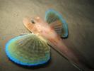 Chelidonichthys lucernus - Grondin-perlon 06