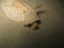 Pleurobranchaea meckelii - Pleurobranchaea meckelii 07
